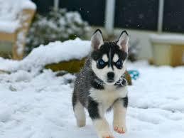 baby husky in snow. Plain Husky Siberianhuskypuppiesinsnow1024768 For Baby Husky In Snow