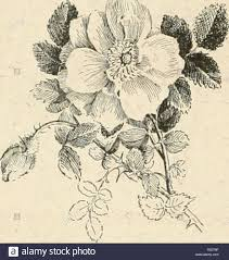 Flower Species Chart Cyclopedia Of American Horticulture Comprising Suggestions