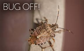 pest control how to remove stink bugs from your home