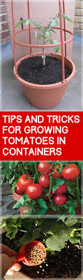 Container Gardening U2013 The Unconventional TomatoContainer Garden Plans Tomatoes