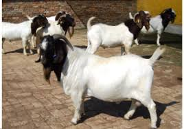 Dairy Goat Breeds Fuping Dairy Goat Breeding Base Shaanxi