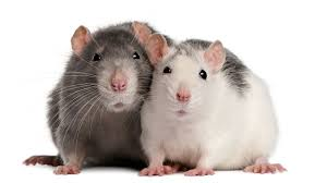 Rodents Lower Classifications How To Understand Rat Sounds Pet Rats