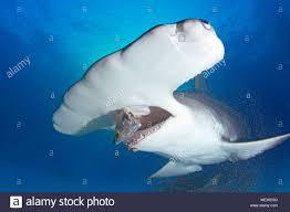 great hammerhead shark eating. Delighful Eating Great Hammerhead Shark Sphyrna Mokarran Eating Baitfish Bahama Banks  Bahamas To Eating M