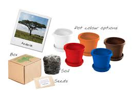 acacia tree in a box in corporate gifts under outdoor leisure and outdoor ignition