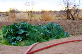 arizona gardening calls for a permaculture garden design vegetable gardening in the desert can be