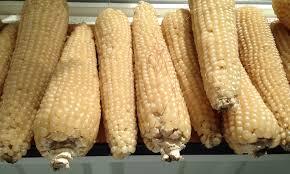 Growing Popcorn Good Stuff Nw Farm Bulletin Growing A Better Popcorn