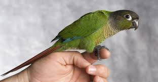 Basic Information Sheet Conure Lafebervet