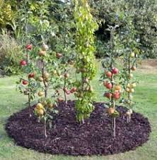 Espalier Pears With Amanda Brooks My Espalier Pears  And Apples When Do You Plant Fruit Trees