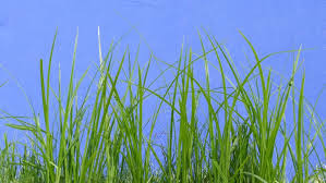 grass blade texture. Stalks Of Green Grass, Blades, Fluttering Swaying At The Wind, On Blue Background, Chromakey, Chroma Key, Alfa, Outdoors, Studio, Summer, Grass Blade Texture