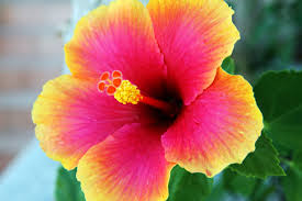 hibiscus flowers hibiscus flower free stock photo public domain pictures