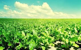 Курсовая Повышение эффективности производства сахарной свеклы  Курсовая Повышение эффективности производства сахарной свеклы Экономика организации