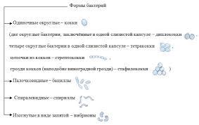 Урок биологии по теме Бактерии строение и жизнедеятельность  iv Изучение нового материала 20 мин