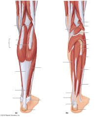 Leg Muscles Diagram Wiring Diagrams