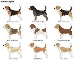 Dog Color Chart Colors Pictures And Info About Beagle Colors