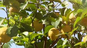 Keiffer Pear Trees Not Bearing  Ask An ExpertTree Bearing Fruit