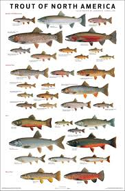Trout Of North America I Grew Up In Michigan Fishing These