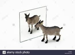 mirror reflection. Modren Mirror Mirror Reflection A Toy Goat Reflected In A Plane Mirror Intended Reflection