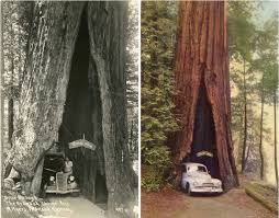 avenue of the giants features three trees in northern california that visitors can drive through for a fee of 5 or more the shrine drive thru tree has a