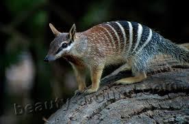 Самые красивые животные Австралии Топ  Сумчатый муравьед сумчатое животное Австралии австралийское животное