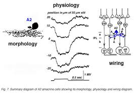 roles of amacrine cells by helga kolb webvision summary diagram of a2 amacrine cell s wiring pattern and physiological responses to light