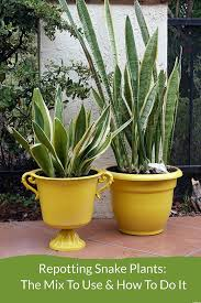 snake plants aka sansevierias or mother in law tongues are hard houseplants here s the repotting of 2 snake plants see the steps the mix to use