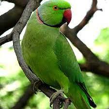 We love Our Bangladesh: Alexandrine Parakeet or Green Parrot (Tiya/Tuta  Pakhi) is a common pet bird in Bangladesh