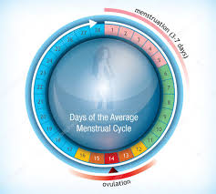 Standard Menstrual Cycle Chart Menstrual Cycle Chart Template Circular Flow Chart Showing