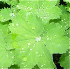 Image result for Lady's Mantle