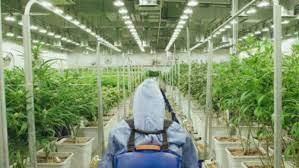 Green Thumb, un operador multiestatal (MSO) de cannabis líder en EE. UU.
