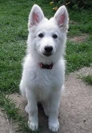 image result for white german shepherd siberian husky german shorthaired pointer mix