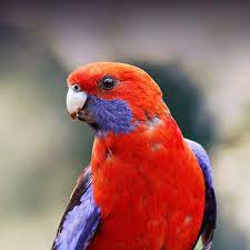 Rosella Personality, Food & Care – Pet Birds by Lafeber Co.