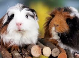 guinea pig vet specialist singapore