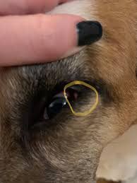 my dogs eye has been really red and has
