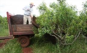 Renuevan yerbales en Corrientes y Misiones - El litoral