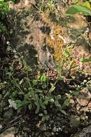 Myosotis soleirolii, flora di Sardegna