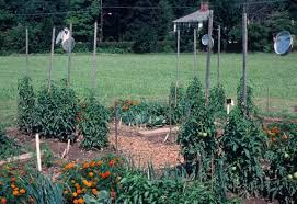 staking is a good way to support tomato plants if gardeners desire fewer but bigger tomatoes shown here are staked young tomato plants using bamboo poles