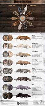 Cat Colors And Patterns Cool Bengal Cat Coat Colors And Patterns [Infographic Www