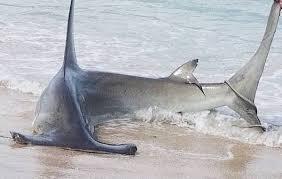 great hammerhead shark caught. Modren Hammerhead Sebastian Inlet Fisherman Catches Hammerhead At Florida Beach Inside Great Hammerhead Shark Caught C