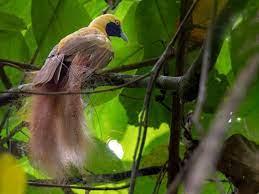 Goldie's Bird-of-Paradise - eBird