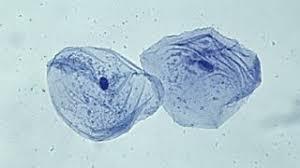 animal cells under a light microscope. Brilliant Under Epithelial Cheek Cells To Animal Cells Under A Light Microscope