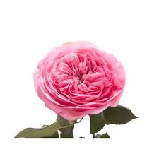 mariatheresia medium pink garden rose order for weddings and events