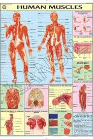 Muscles For Human Physiology Chart