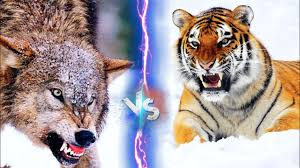 Tiger would win 90% rhinoserous vs lion very difficult for lion zebra vs lion ? Siberian Tiger Vs Gray Wolf Facts And Information In Hindi Youtube