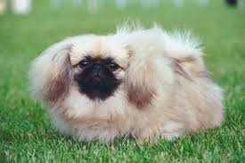Pekingese Growth Chart When Do Pekingese Stop Growing Pets