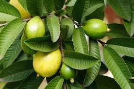 Amazing Health Benefits Of Guava Leaves Tea