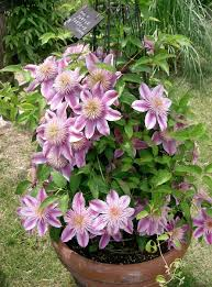 Gardens Top 10 Climbers  Life And Style  The GuardianClimbing Plants That Like Shade