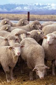 <b>sheep</b> | Characteristics, Breeds, & Facts | Britannica