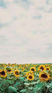 Aesthetics Sunflower And Roses ...