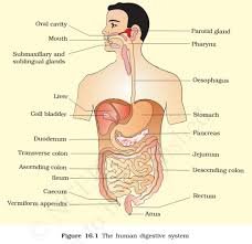 Human Digestive Enzymes Chart Human Digestive System Digestive Glands Pmf Ias