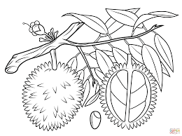 Small Picture Durian branch cross section and seed coloring page Free